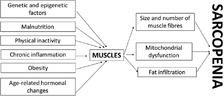 Figure 1: Factors affecting skeletal muscles and leading to development of sarcopenia